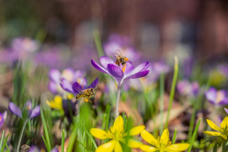 Selective Photography of Purple and White Saffron Crocus Flowers stock photo