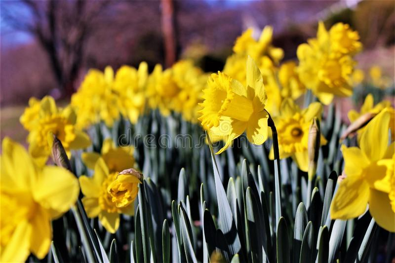 Selective Photography of Yellow Petaled Flowers royalty free stock image