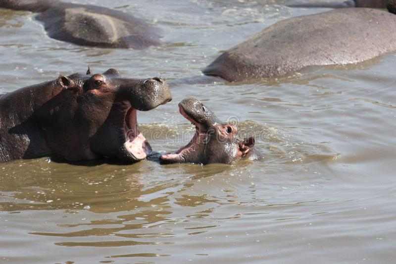 Selective shot of hippopotamuses in the water with their mouths open stock photo