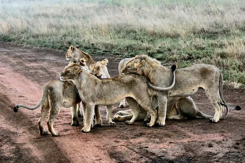Selective shot lion, lioness and cubs near grass field. A selective shot lion, lioness and cubs near grass field royalty free stock photography