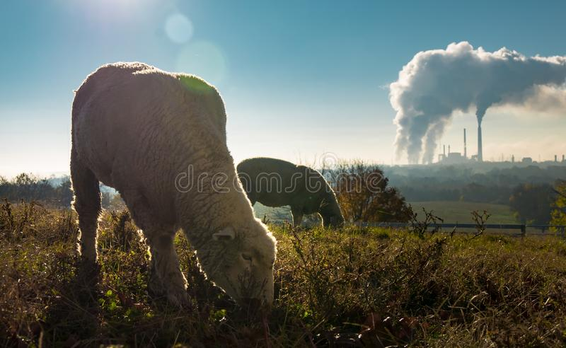 Selective shot of sheep eating grass on the background of a factory under a blue sky stock images