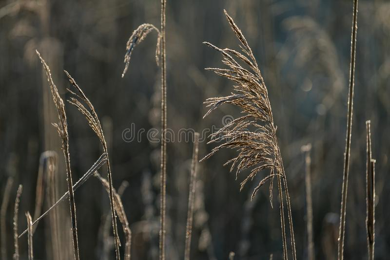 Selective soft focus of beach dry grass, reeds, stalks blowing i stock images
