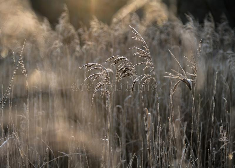 Selective soft focus of beach dry grass, reeds, stalks blowing i. N the wind at golden sunset light, horizontal, copy space. Nature, autumn, winter, hoarfrost royalty free stock photography