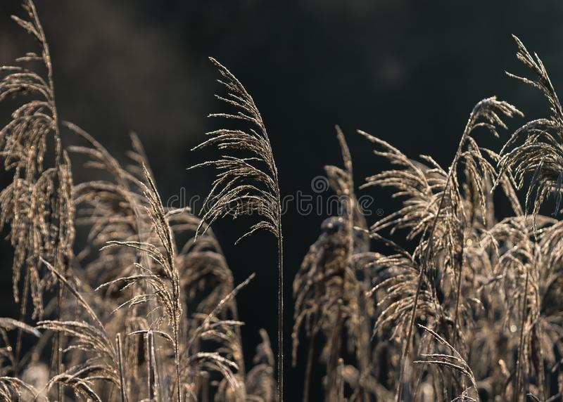 Selective soft focus of beach dry grass, reeds, stalks blowing i. N the wind at golden sunset light, horizontal, copy space. Nature, autumn, winter, hoarfrost stock photography