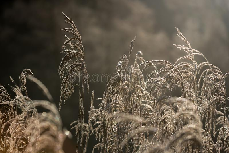 Selective soft focus of beach dry grass, reeds, stalks blowing i. N the wind at golden sunset light, horizontal, copy space. Nature, autumn, winter, hoarfrost stock images