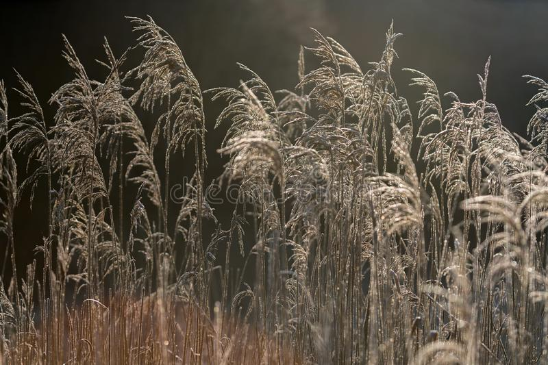 Selective soft focus of beach dry grass, reeds, stalks blowing i. N the wind at golden sunset light, horizontal, copy space. Nature, autumn, winter, hoarfrost stock photo