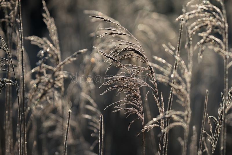 Selective soft focus of beach dry grass, reeds, stalks blowing i. N the wind at golden sunset light, horizontal, copy space. Nature, autumn, winter, hoarfrost royalty free stock photo