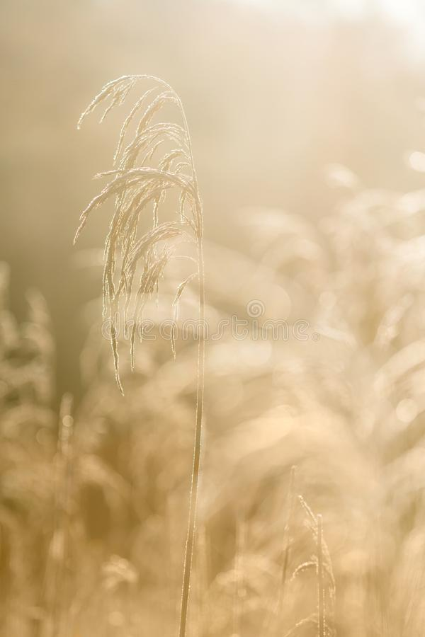 Selective soft focus of beach dry grass, reeds, stalks blowing i. N the wind at golden sunset light, horizontal, copy space. Nature, autumn, winter, hoarfrost royalty free stock photos
