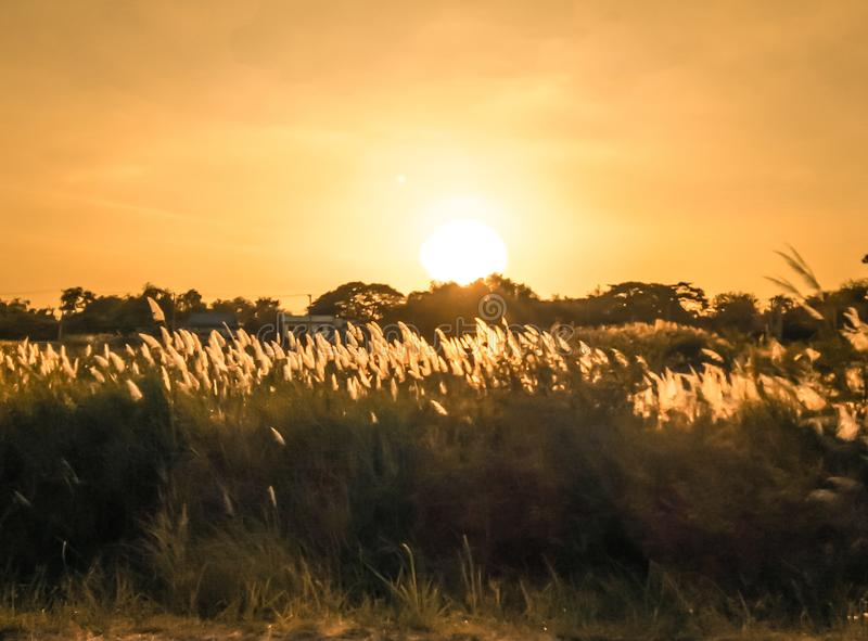 Selective soft focus of beach dry grass, reeds, stalks blowing in the wind at golden sunset stock photos