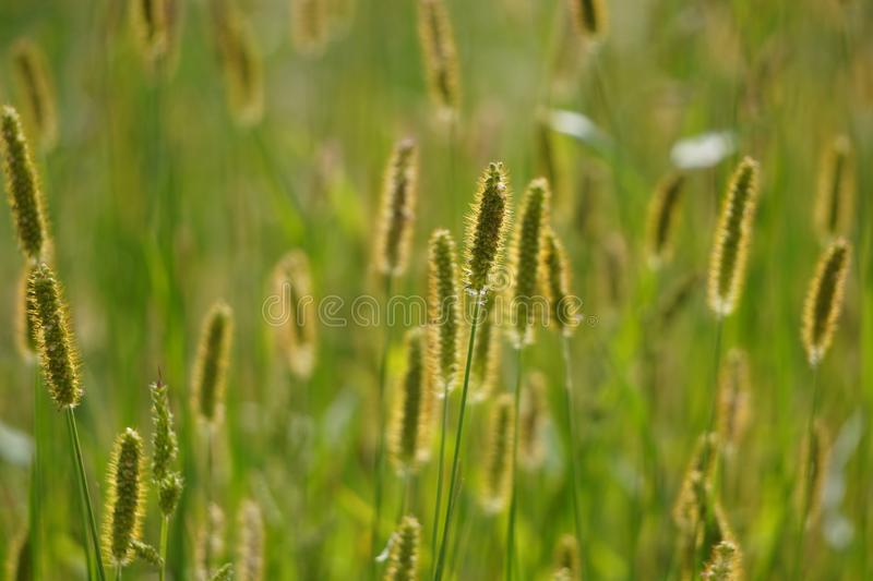 Selective soft focus on closeup green grass, reeds with yellow dry autumn stalks, blowing in the wind at golden sunset light, royalty free stock photography