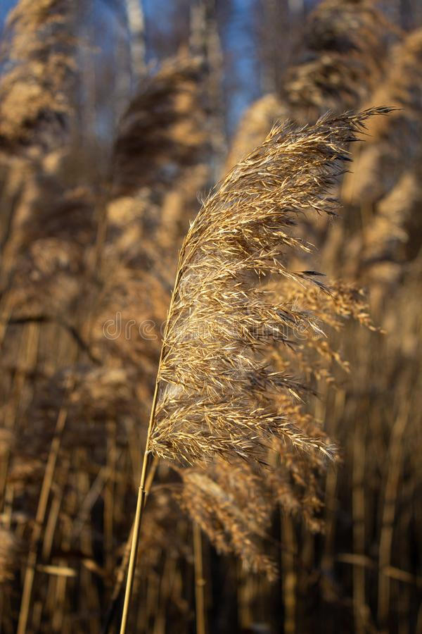 Selective soft focus of dry grass, reeds, stalks blowing in the wind at golden sunset light royalty free stock images