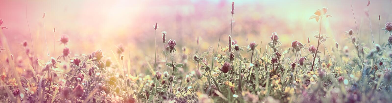 Selective and soft focus on flowering red clover, beautiful meadow stock images
