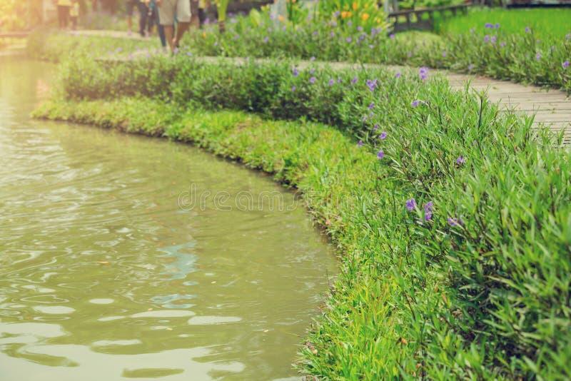 Selekcyjna ostrość drewniany most i boczne okwitnięcie purpury kwitniemy zdjęcie royalty free