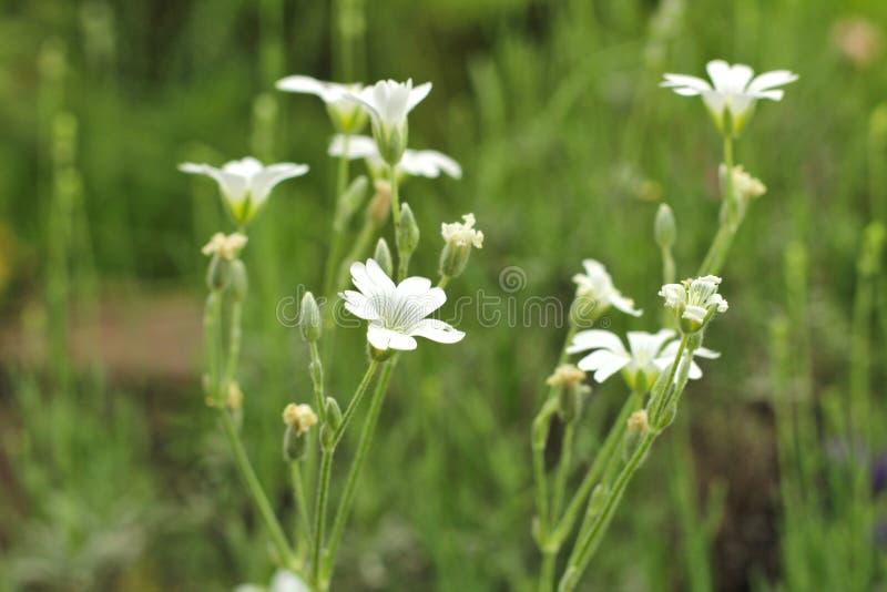 Selekcyjna ostro?? Mali biali wildflowers na zielonym zamazanym tle zdjęcia stock