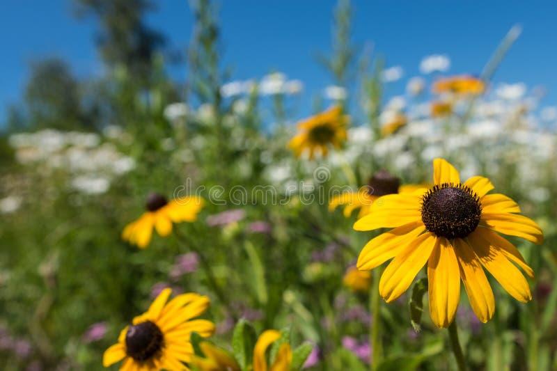 Selekcyjnej ostrości fotografia na podbitego oka Susan kwiacie wśród pola białe stokrotki, obraz royalty free