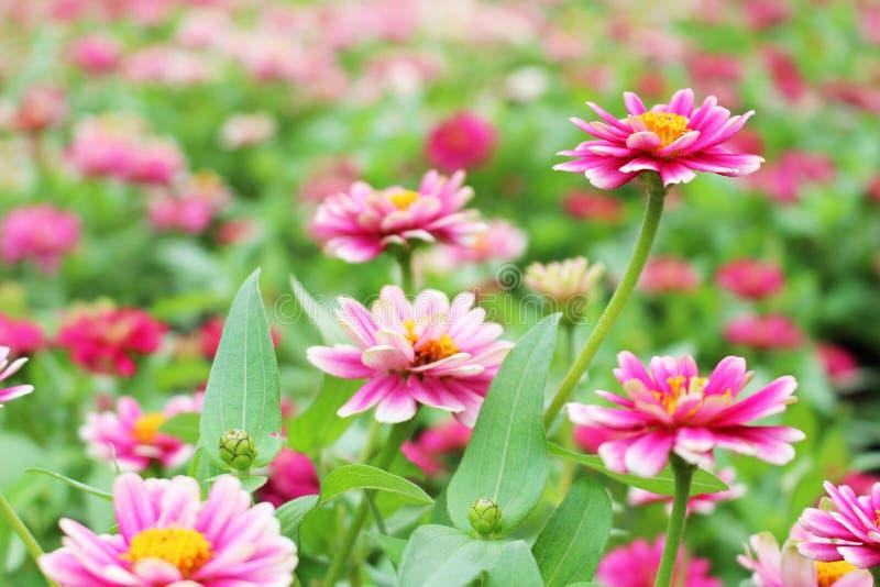 Selekcyjnej ostrości menchii i Białych Piękni Mali kolory cynie Elegans Kwitną na cudownym kwiatu tle w ogródzie dla fotografia royalty free