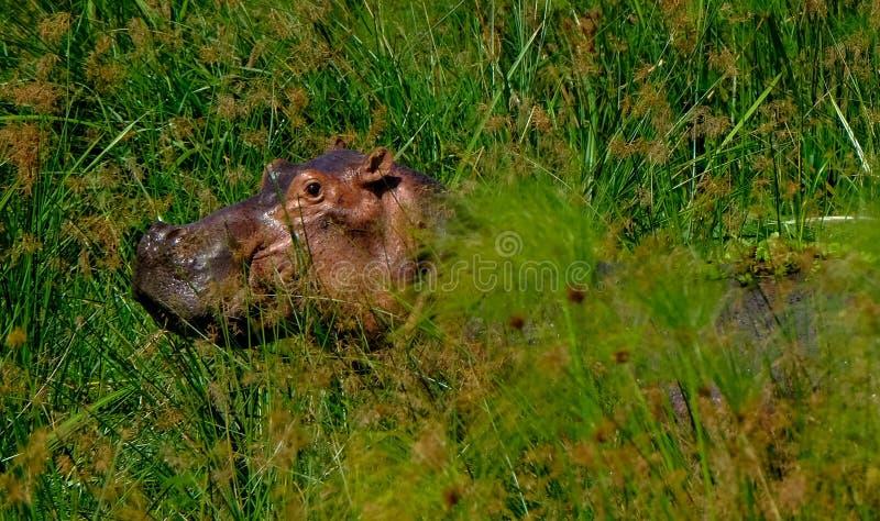 Selekcyjnej ostrości strzał hipopotama odprowadzenie w trawiastym polu na słonecznym dniu zdjęcia royalty free