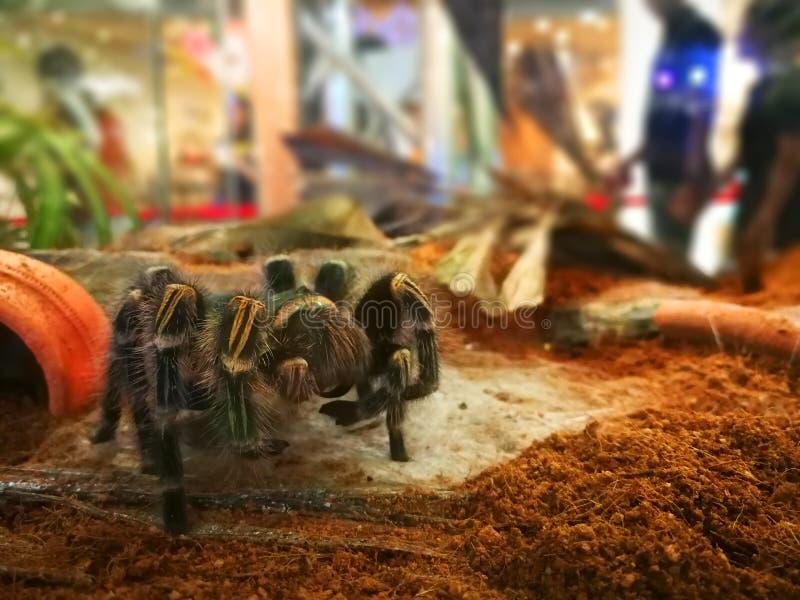 Selekcyjnej ostrości tarantuli duży kosmaty pająk w zwierzęcym przedstawieniu zdjęcia stock