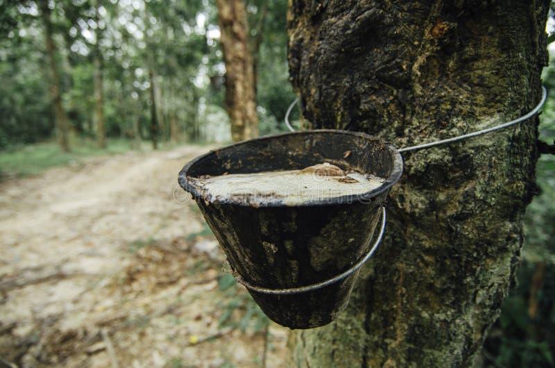selekcyjnej ostrości wizerunek wydobujący od gumowego drzewa dla naturalnej gumy przemysłów lateks zdjęcia royalty free