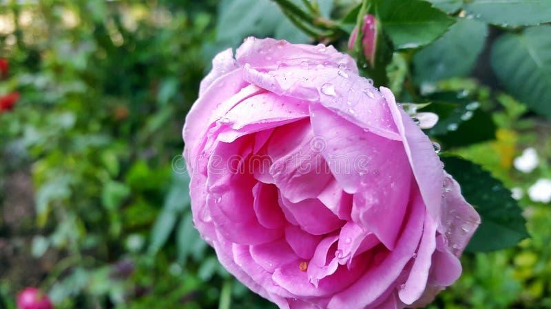 Selekcyjnej ostrości fotografia Różowy Petaled kwiat fotografia royalty free