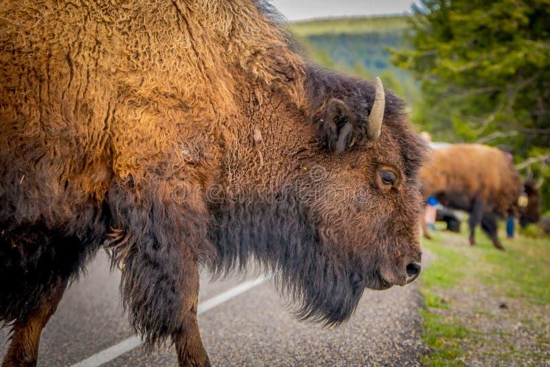 Selektiv fokus av den enorma bruna bisonen som korsar vägen i den Yellowstone nationalparken i en suddig naturbakgrund royaltyfri bild