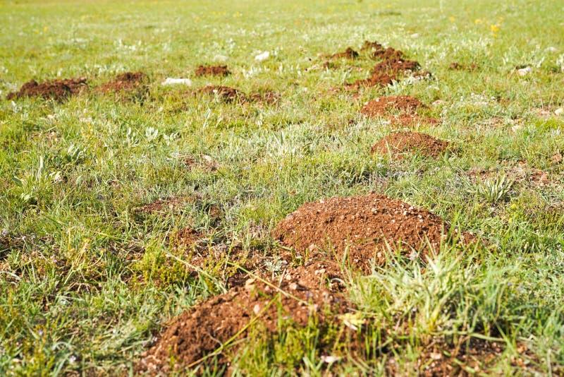 Selektiv fokus av nya mullvadshögar på gräsmatta arkivbild
