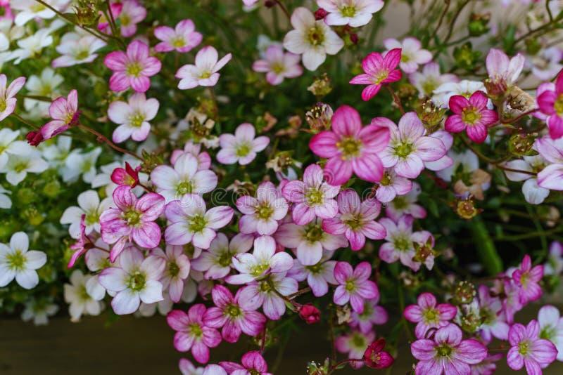 Selektiv fokus på rosa färger, magentafärgade och vita Rockfoil och mossig fl arkivbilder