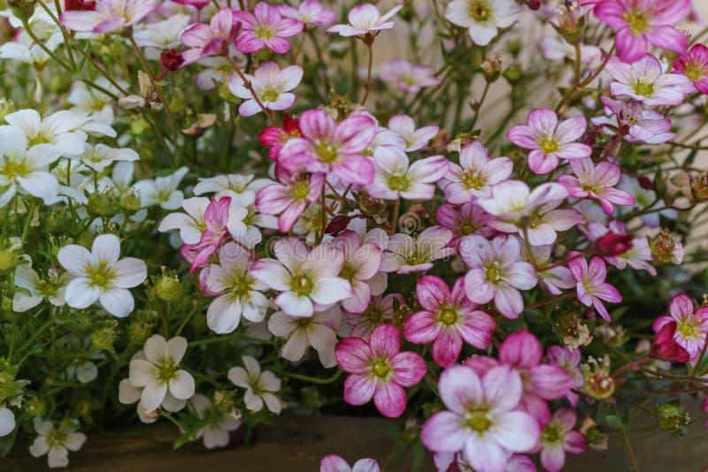 Selektiv fokus på rosa färger, magentafärgade och vita Rockfoil och mossig fl royaltyfria bilder