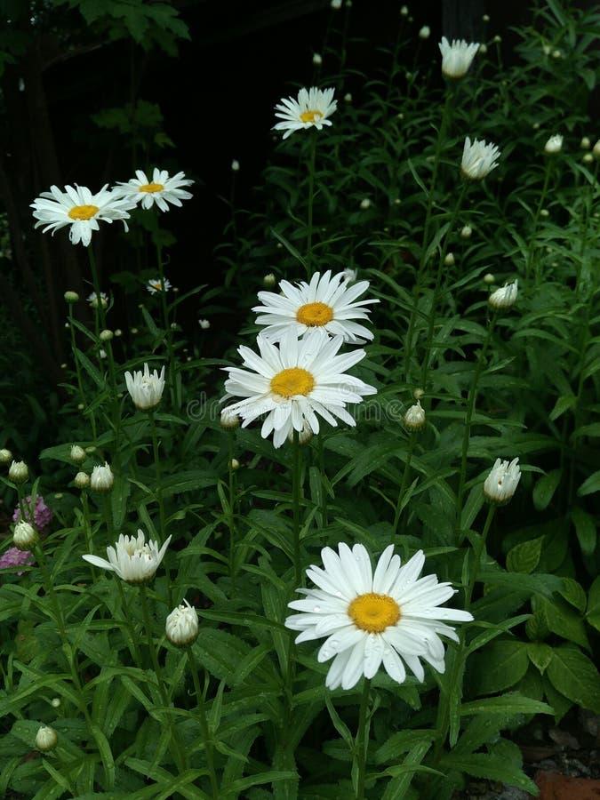 Selektiv fokus, suddig bakgrund, abstrakt blom- täppa av sex vita tusenskönor på en mörk yttersida och oöppnade knoppar in royaltyfria bilder