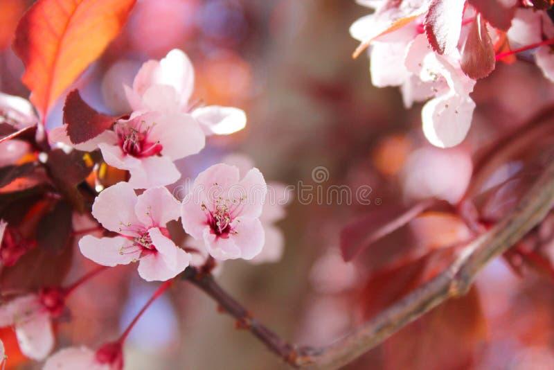 Selektiv fokusering på Sakura Tree arkivbild
