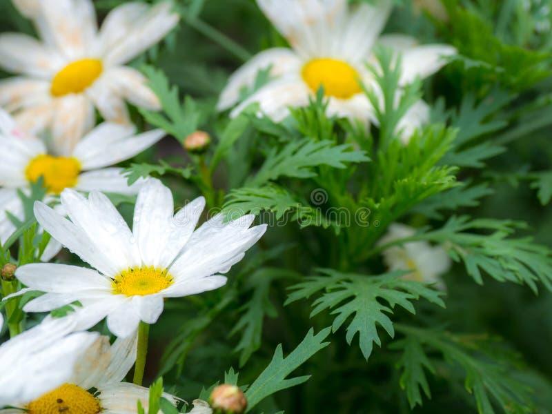 Selektiv und Weichzeichnung des weißen Grüns der Blume des weißen Gänseblümchens und des gelben Staubgefässes verlässt lizenzfreies stockfoto