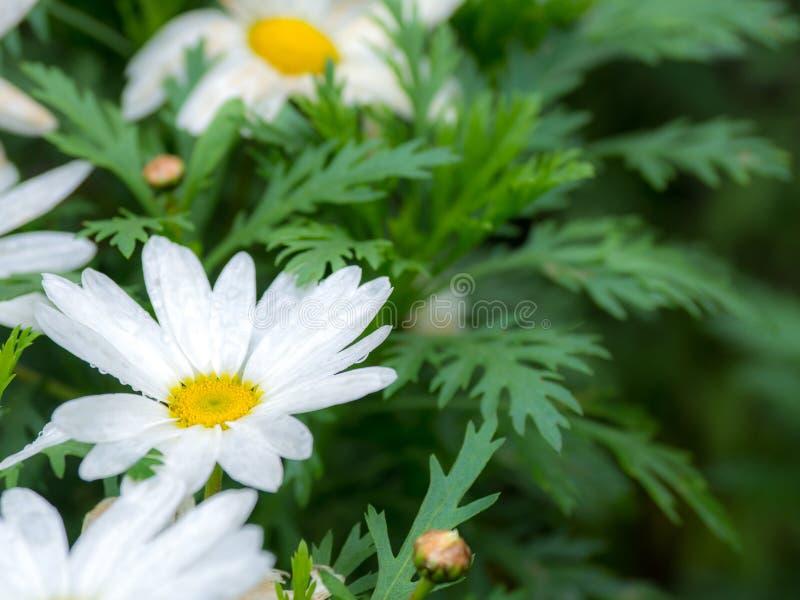 Selektiv und Weichzeichnung des weißen Grüns der Blume des weißen Gänseblümchens und des gelben Staubgefässes verlässt lizenzfreie stockbilder