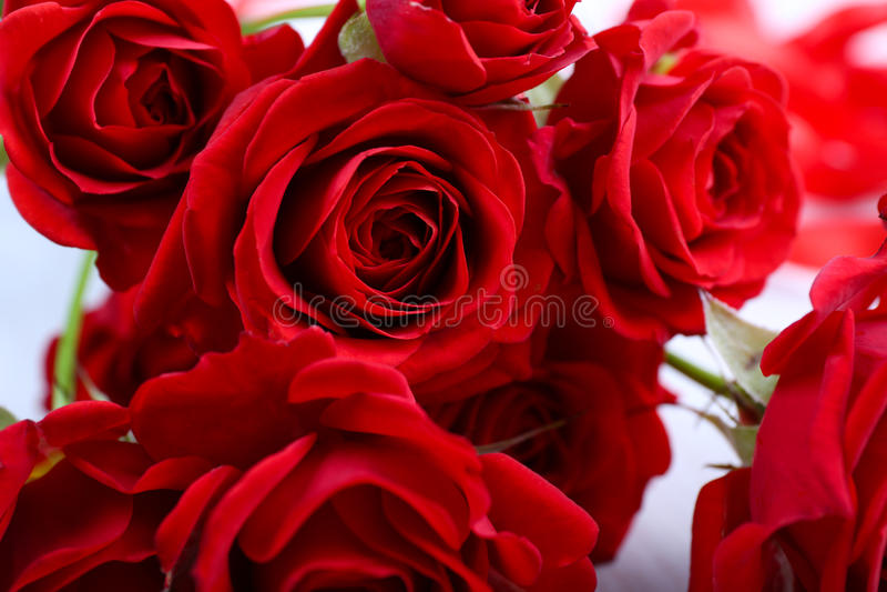 selektiva röda ro för bakgrundsfokus royaltyfria foton