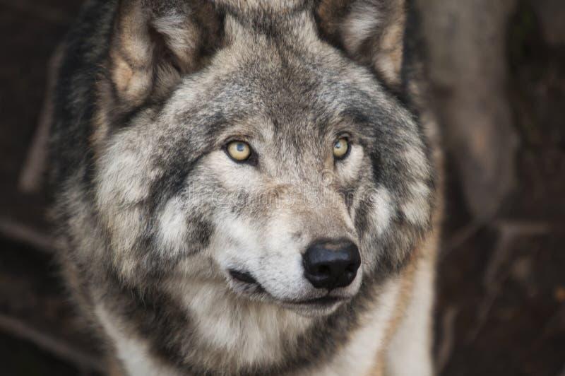 Selektive Fokusfotografie aus grauem und weißem Wolf lizenzfreie stockfotos