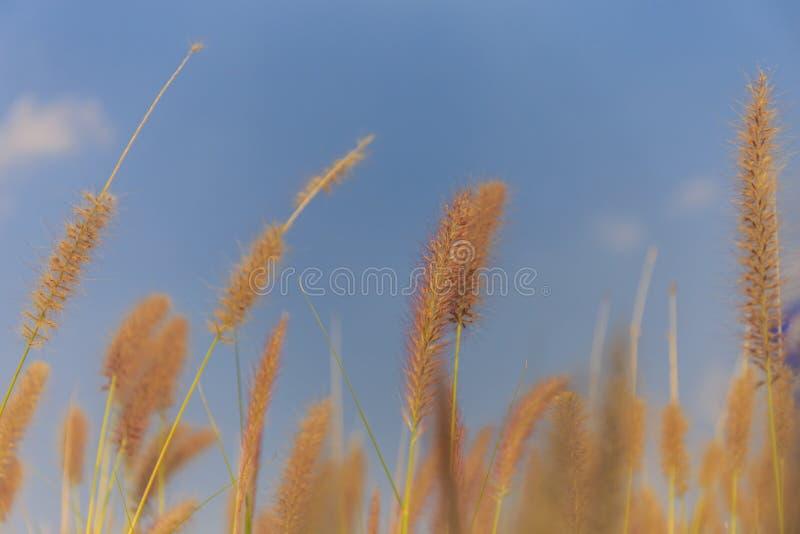 Selektive Fokussierung einer Grasblume lizenzfreies stockbild