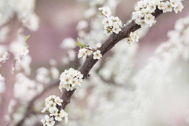 Selektive Fokussierung Schöner Kirschblüten stockfotos