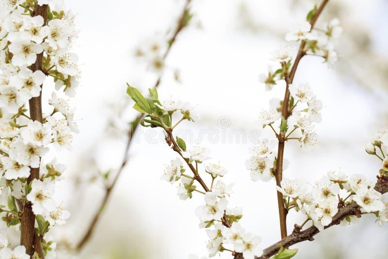 Selektive Fokussierung Schöner Kirschblüten stockfoto