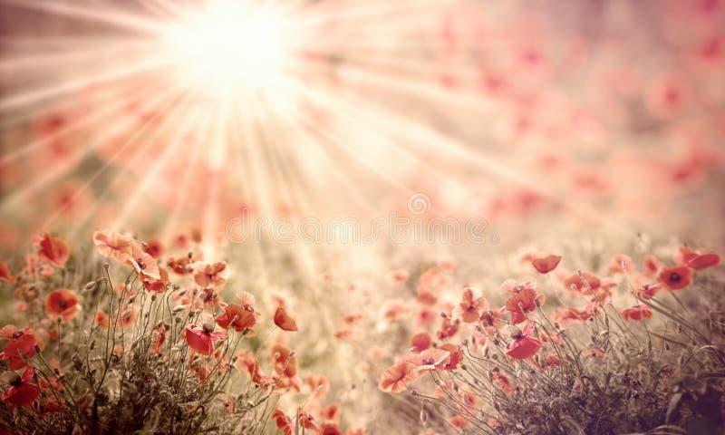 Selektiver Fokus auf Mohnblumenblume in der Wiese, Mohnblumenblumen beleuchtete durch Sonnenstrahlen lizenzfreie stockfotografie