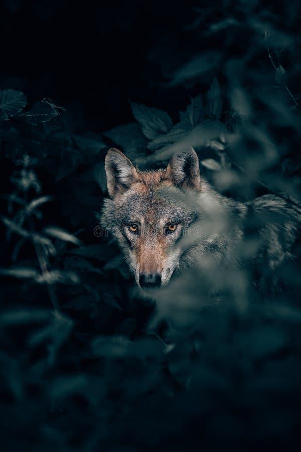Selektiver Fokus der vertikalen Nahaufnahme geschossen von einem wilden schönen grauen Wolf in einem Wald, der Kamera betrachtet stockfoto