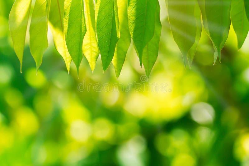 Selektiver Fokus des Naturgrüns verlässt auf unscharfem grünem bokeh Hintergrund stockfotografie