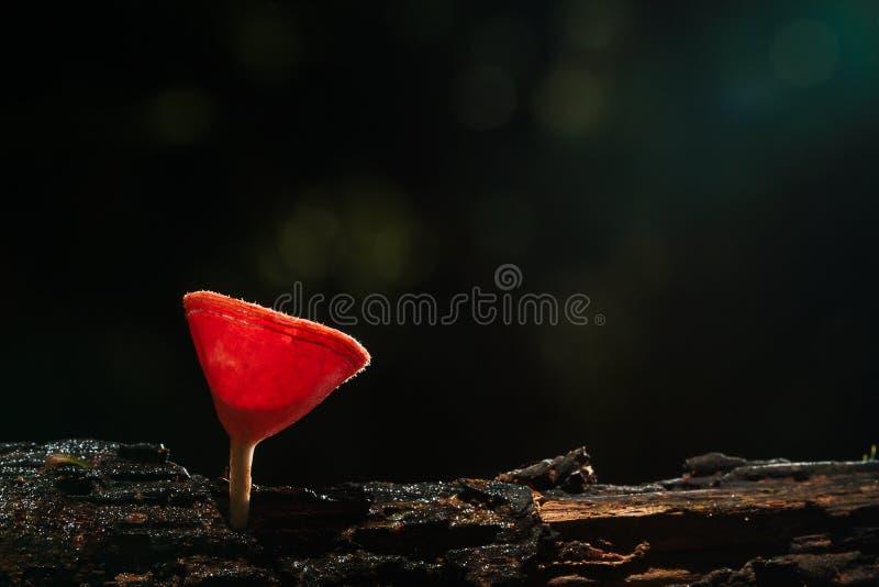 Selektiver Fokus des rosa frischen Schalenchampagnerpilzes mit Wassertröpfchen in der Natur im Wald auf dunklem Hintergrund stockfoto