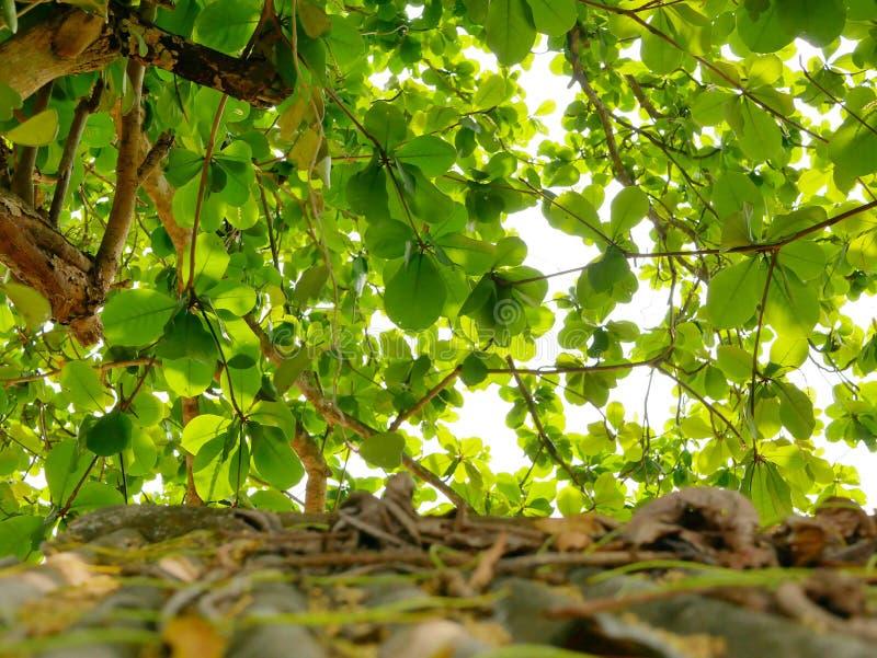 Selektiver Fokus hellen Himmels und des indischen Mandelbaum ` s verzweigt sich mit grünen Blättern mit defocus altem grungy Dach stockfotos