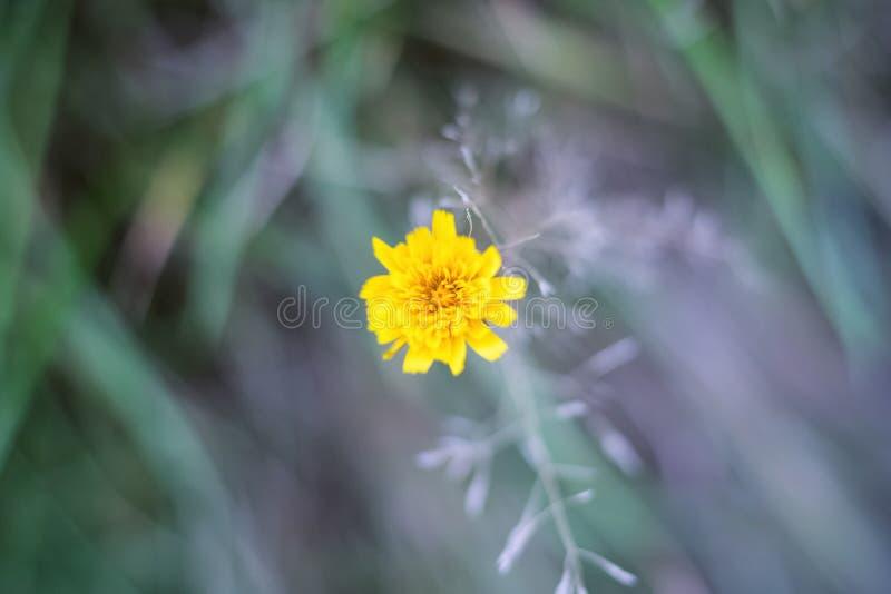 Selektiver Fokus, Nahaufnahme einer Ringelblumenblume lizenzfreie stockfotos