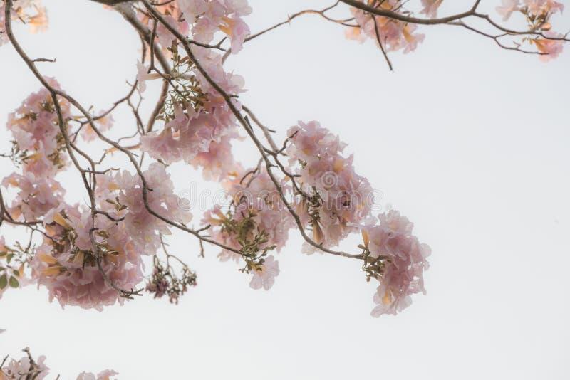 Selektiver Fokus sch?ne Blume Tabebuia Rosea, die in einem Garten bl?ht Rief auch Pink Poui, rosa Baum Tecoma und Rosy Trumpets a stockbild