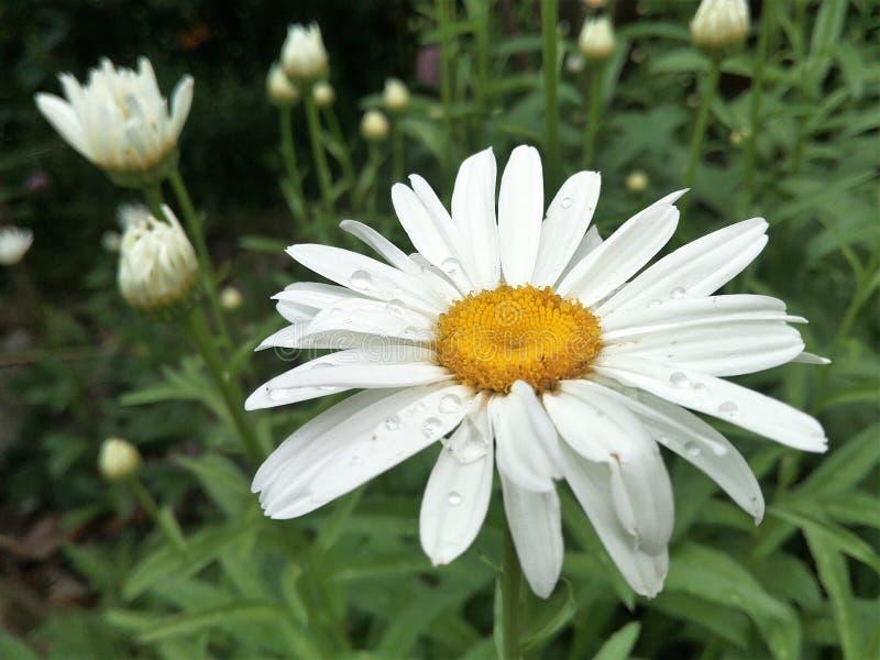 Selektiver Fokus, unscharfer Hintergrund, ein Blumenweiß auf dunklem Hintergrund lizenzfreies stockfoto