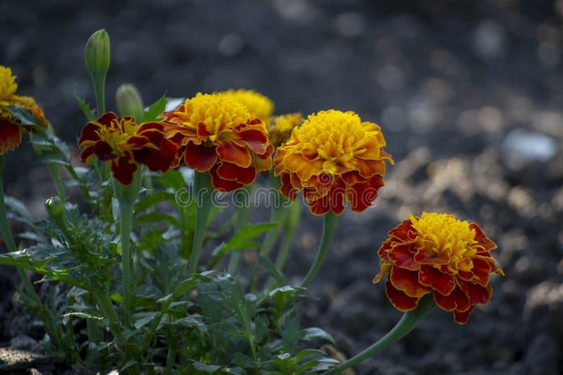 Selektiver Fokus zu einer vorderen Gruppe der kurzen und hohen Ringelblumenblume hatte Leuchtorangeblumenblätter lizenzfreies stockbild