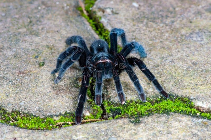 Selenocosmia javanensis塔兰图拉毒蛛蜘蛛 免版税图库摄影