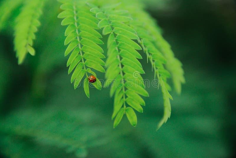 Φωτογραφία εστίασης Selevtive Ladybug στο πράσινο φύλλο κατά τη διάρκεια της ημέρας στοκ εικόνα