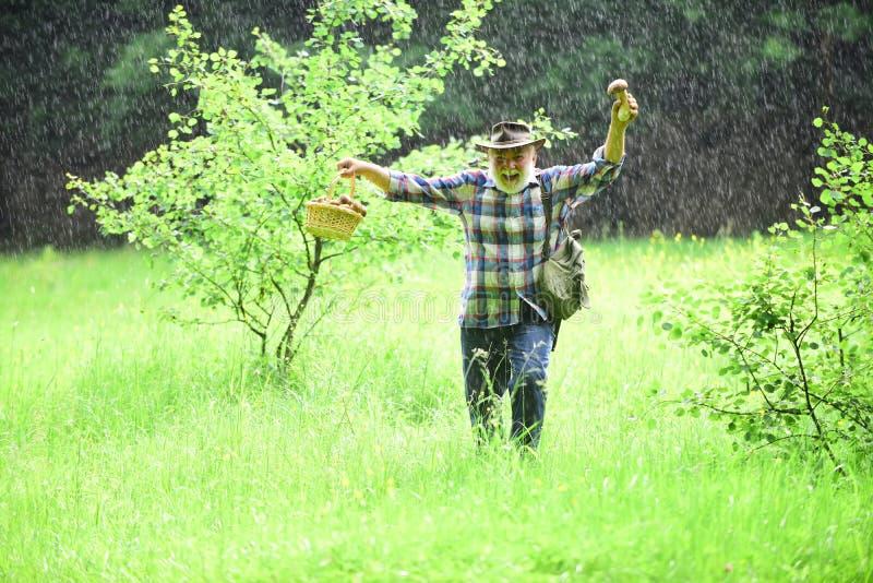 Selezionamento dei funghi in pioggia Uomo maturo con la merce nel carrello dei funghi sopra fondo piovoso Fungo nella foresta, uo fotografie stock libere da diritti