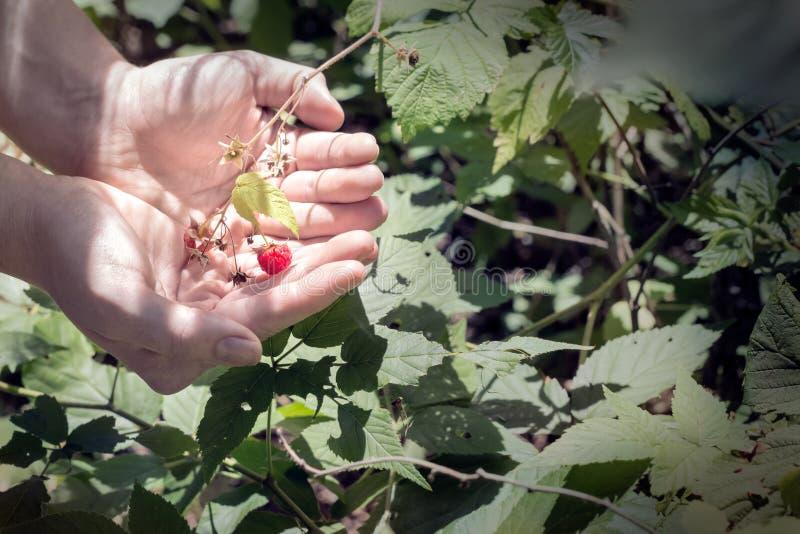 Selezionamento dei lamponi selvaggi di estate fotografia stock libera da diritti